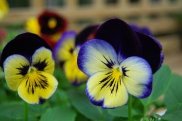 Pansies & Violas