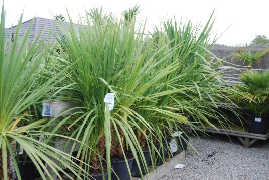 Cornish Palm